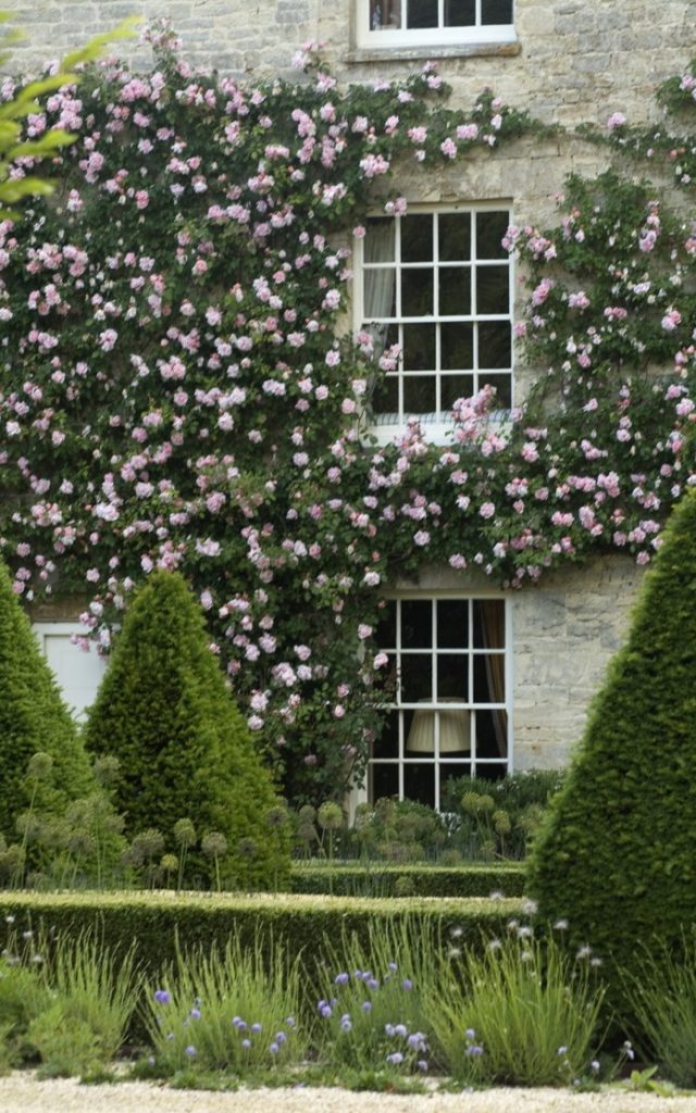 Window climbing roses covering sills